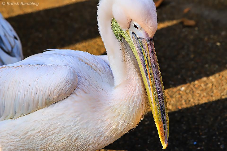 """""""Русские"""" пеликаны в Сент-Джеймском парке, Лондон, Англия."""