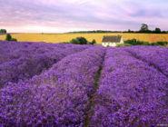 Лавандовые поля, Котсуолдс, Англия